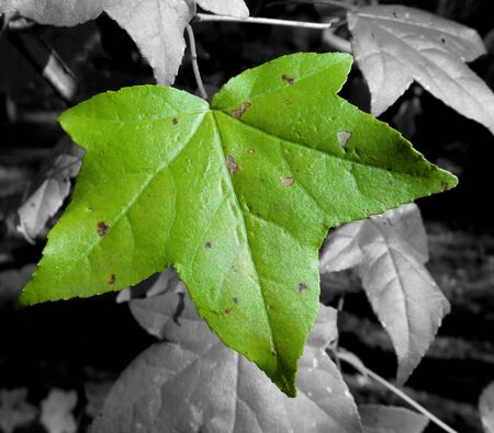 green leaf with selective coloring photo