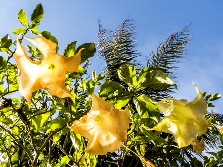 Yellow flowers through sunlight and blu sky background on a garden at Venice Beach, Los Angeles, LA, California, CA, USA