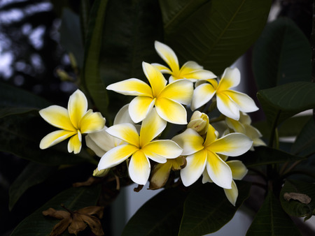 Frangipani yellow and white flower on a garden at Venice Beach, Los Angeles, LA, California, CA, USA