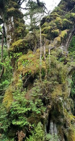 Doubtful Sound Ancient Tree, New Zealand, South Island, NZ