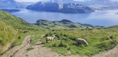 Sheeps at the Roys Peak Track, Wanaka, New Zealand, South Island, NZ