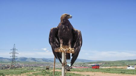 Mongolian Eagle Portrait at Mongolia
