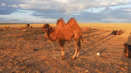 Two humps Camels at the Gobi Desert, Mongolia Stock fotó