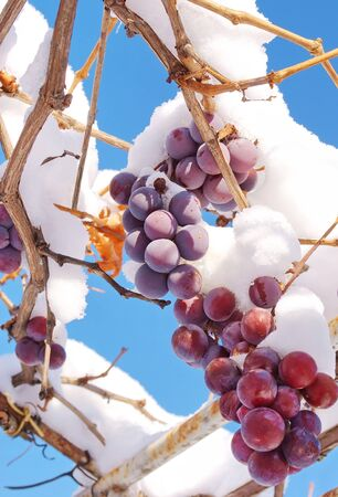 grapes in the snow Stock Photo