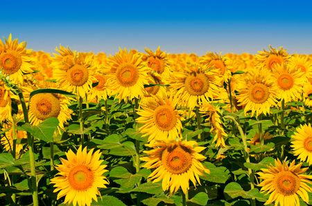 Beautiful sunflowers against a blue sky in summer