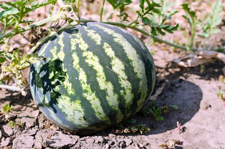 Berry large watermelon growing in the field Stock Photo