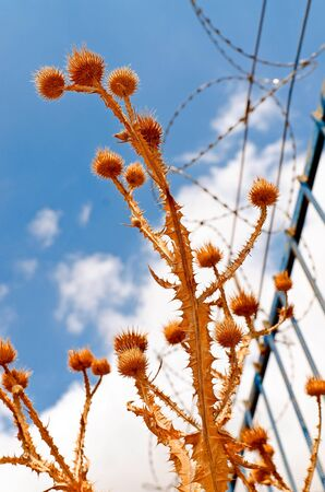 Thorny plants on background of blue sky and barbed wire fence Stock Photo