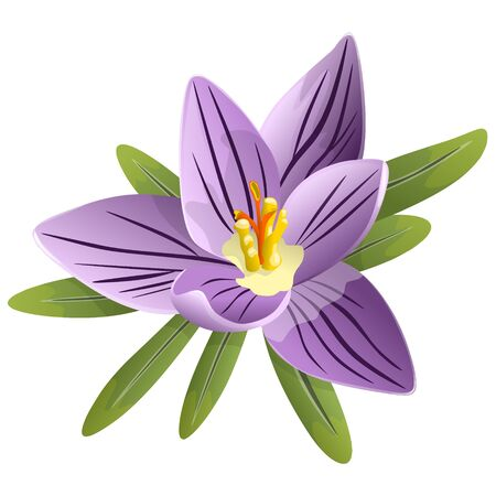 Drawing of a beautiful spring crocus flower. Vector illustration isolated on a white background.