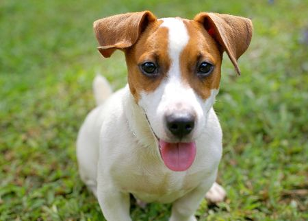 jack russell: Jack Russell Terrier front