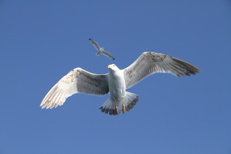 seagull flying on the sky