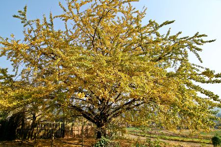 the golden ginkgo in autumn Stock Photo - 4779832