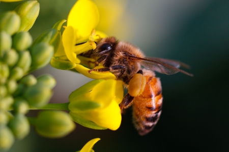 honey bee: a bee Stock Photo