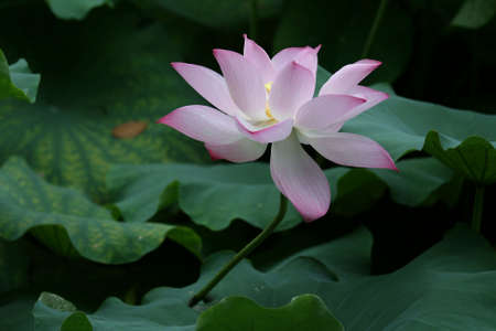 a lotus is blooming Stock Photo - 4734008