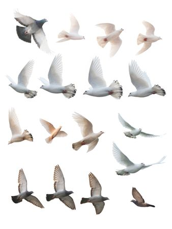 white pigeon: many posture of pigeon flight
