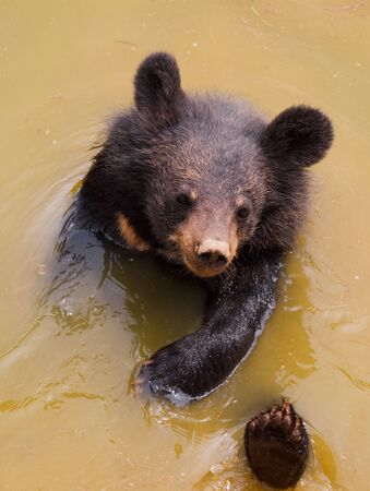 oso negro: oso negro jugando en el agua
