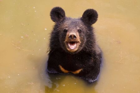 black bear: orso bruno che giocano in acqua Archivio Fotografico