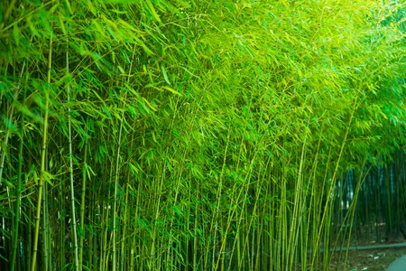 the bamboo forest in spring