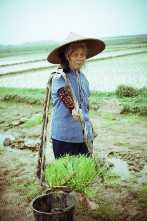 Chinese peasant working on the rice field photo