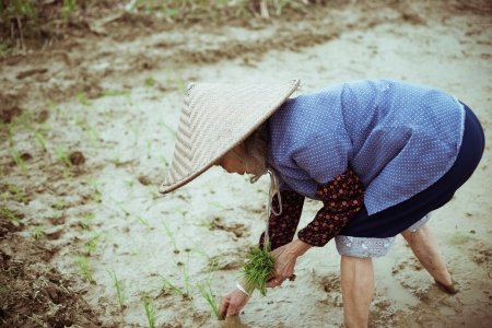 cropland: Chinese peasant working on the rice field