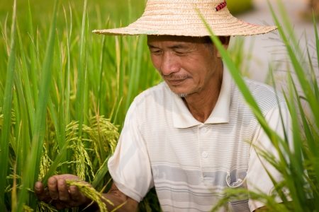 cropland: Chinese senior male peasant in the rice filed Stock Photo