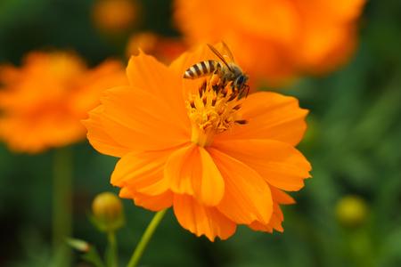 nectar: closeup of bee gathering nectar Stock Photo