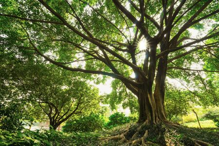 lush: the lush old banyan in the nature Stock Photo