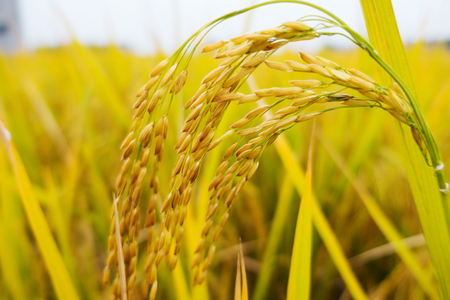 Close up view of a rice paddy in the field