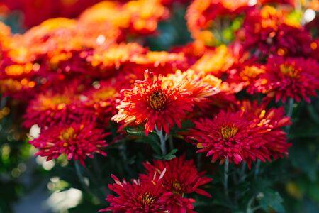 red autumn chrysanthemums in the garden bloom