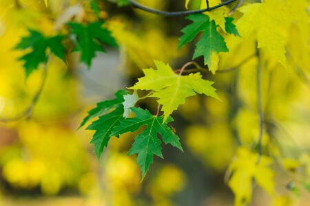 Green maple leaves and one yellow leaf on the tree in autumn