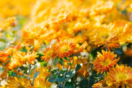 Beautiful bright orange yellow chrysanthemum flowers on farm