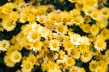 carpet of yellow chrysanthemums in the garden, blooming garden
