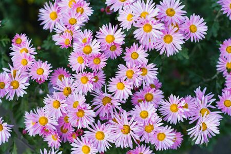 carpet of pink chrysanthemums in the garden, blooming garden