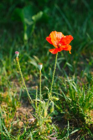 Red decorative poppy flower grows in the field or in the garden Stock fotó