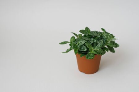 houseplant fittonia dark green with white streaks in a brown pot on a white background Copy space