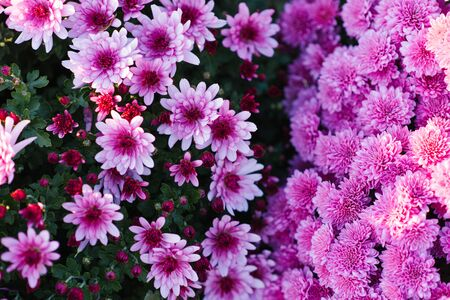 Lilac and lilac chrysanthemum flowers in the garden in autumn