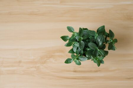 houseplant fittonia dark green with white streaks in a brown pot on a beige background with boards. The view from the top. Copy space Фото со стока