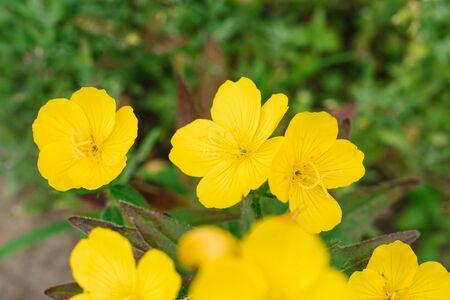 Yellow flowers of evening primrose grow in the garden in summer. Selective focus. Stock Photo