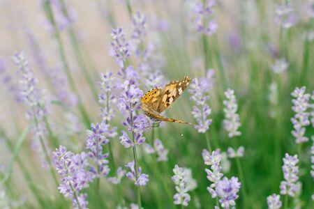A butterfly drinks nectar on a lavender flower in a lavender field. Reklamní fotografie
