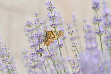 A beautiful butterfly drinks nectar on a lavender flower in a lavender field.