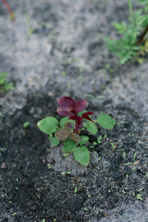 A young rose grows in a garden bed.