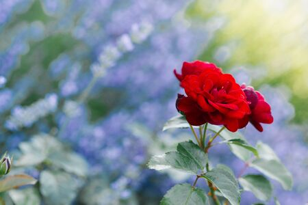 Beautiful red mini roses in the garden in summer. Copy space.