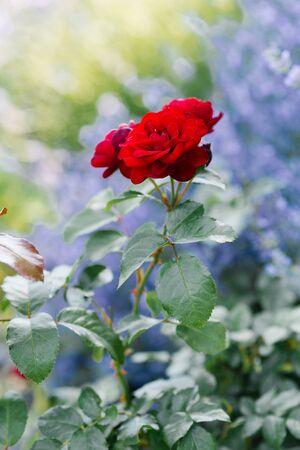 Beautiful red mini roses in the garden in summer. Reklamní fotografie