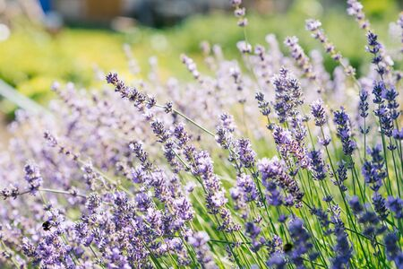 Lavender flowers in a field at sunset.