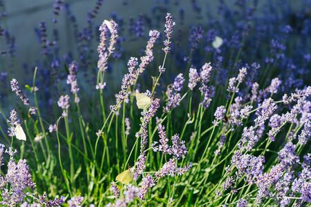 Lavender flowers in the field and a lemongrass butterfly on the flower.