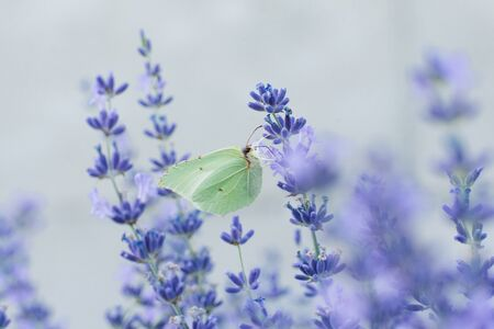 The lemongrass butterfly sits on a lavender flower and drinks nectar on a flower in a field.