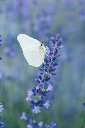 The lemongrass butterfly sits on a lavender flower and drinks nectar on a flower in a field. Selective focus.