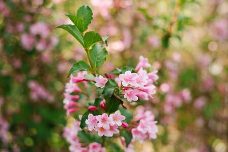 Pink weigela flowers on a branch in the garden in summer. Selective focus.