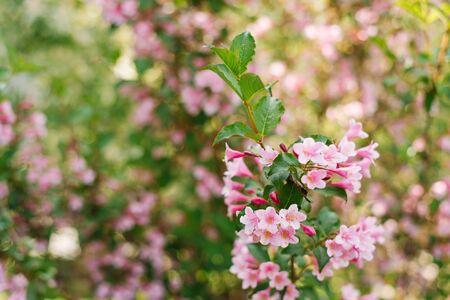 Pink weigela flowers on a branch in the garden in summer. Selective focus. Copy space. Reklamní fotografie