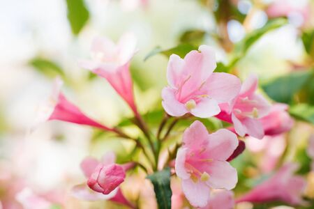 Pink weigela flowers close-up on a branch in the garden in summer. Selective focus..