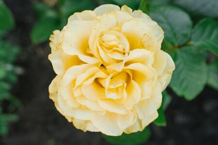 Selective focus on a beige yellow rose flower close up in a garden in summer.